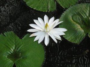 庭園の池にうかぶハスの花